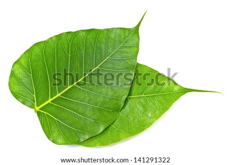 Green bodhi leaf vein on white background - stock photo