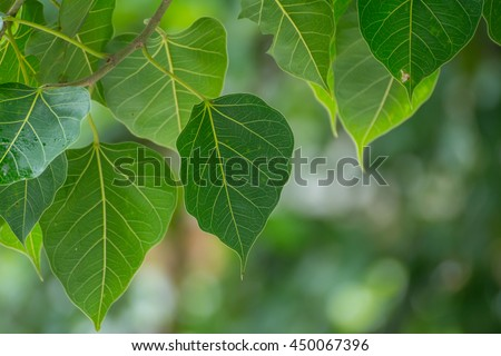Green Bodhi leaves background with sunrise (also known as Pipal leaves and Bo leaves) - stock photo