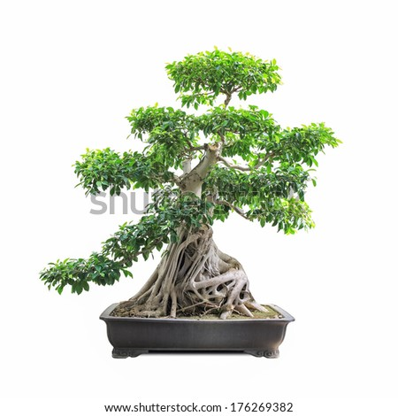 green bonsai banyan tree with a white background - stock photo