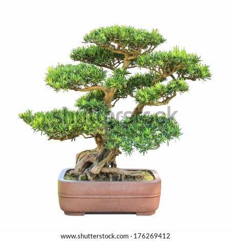 green bonsai elm tree with a  white background