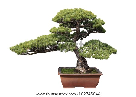 green bonsai pine with white background - stock photo
