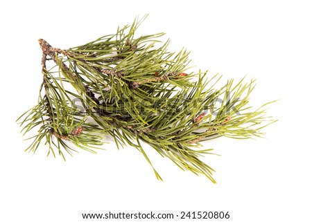 green branch of a pine.  Green branch of a pine on a white background. The isolated image - stock photo