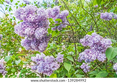 Green branch with beautiful spring lilac (syringa) flowers