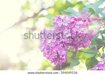 Green branch with spring lilac flowers - stock photo