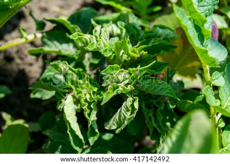green branches of potatoes - stock photo