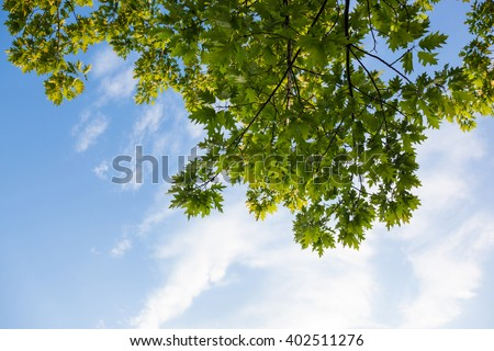 Green branches of the oak tree against the blue cloudy sky background. - stock photo