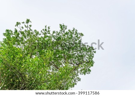 Green branches of tree against the blue sky ; Under view of shade ; big green tree Nature composition - copy space for your design  - stock photo
