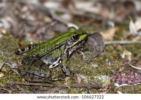 Green brown frog close up.Edible green frog (Rana esculenta), is a medium-thick-set tailless animals, up to 12 cm in length, but usually smaller. Edible green frog on the ground in moss and leaves.
