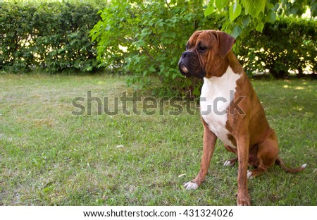 green, brown, outdoors, one, nature, white, background, young, beautiful, tree, summer, sitting, grass, funny, cute, color, black, breed, animals, dog, boxer, walks, pedigreed, strips