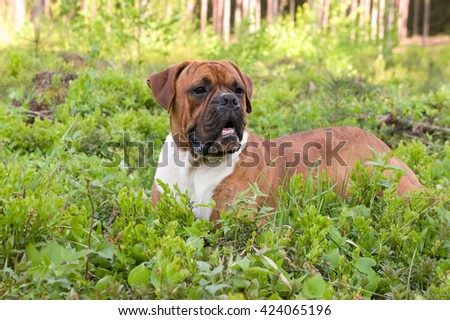 green, brown, outdoors, one, nature, white, young, beautiful, spring, grass,  funny, cute, color, black, breed, animals, dog, birch, attentive, boxer, tree   pedigreed, strips, grass green, lies, - stock photo