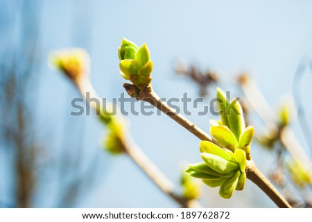 green buds with young leaves growing in spring - stock photo