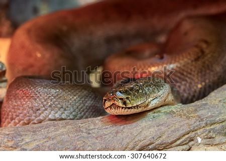 green burmese python - stock photo