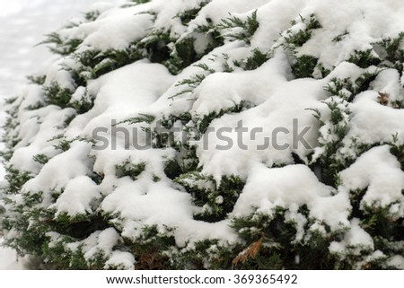 green bush covered with snow / Winter time