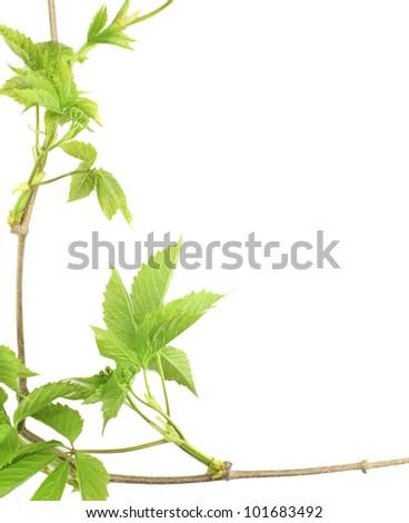 Green bush vines - stock photo