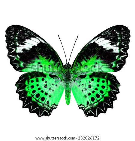 Green Butterfly (Leopard Lacewing Butterfly) upper wing profile in fancy blue color isolated on white background - stock photo
