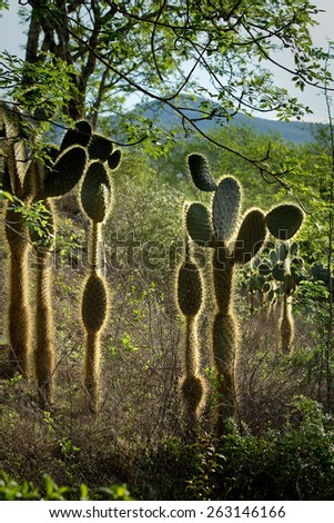 Green cactus plants with mountain in the background , Galapagos Islands - stock photo