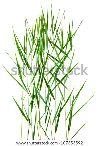 green cane stalks isolated on white background
