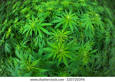 Green cannabis plants growing in the field.  - stock photo