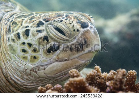 Green caretta turtle close up portrait while looking at you - stock photo