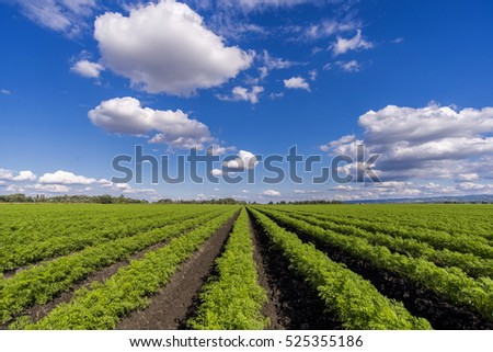 Green carrots field with blue sky