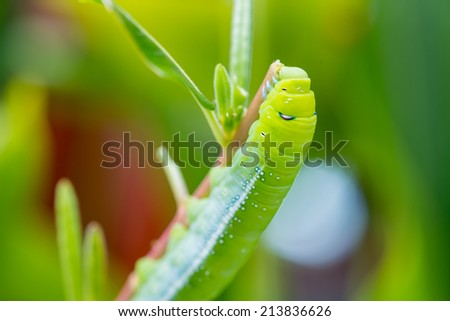 Green caterpillar eating leaf - stock photo