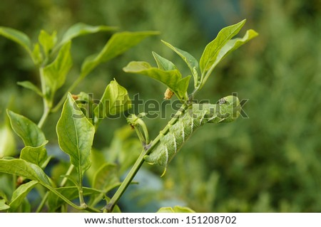 Green Caterpillar getting ready to munch on some greenage. - stock photo