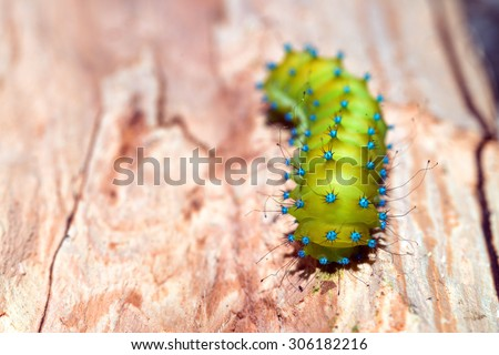 Green caterpillar of giant peacock night moth - stock photo