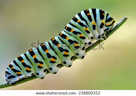 green caterpillar on a fennel - stock photo