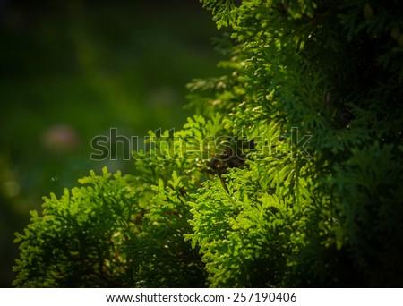 green cedar branches (Thuja occidentalis) - stock photo