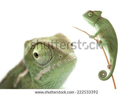 Green chameleon with narrow focus isolated on white background - stock photo