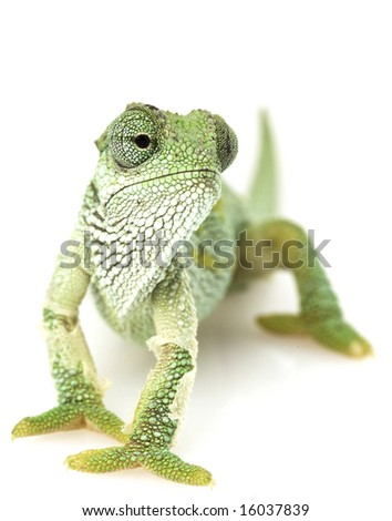Green Chameleon with shedding parts on white background. - stock photo