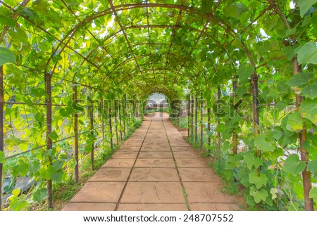 Green Chayote leaf tunnel - stock photo