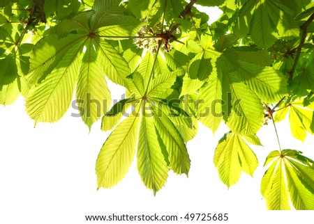 Green chestnut leaves isolated on white background. - stock photo