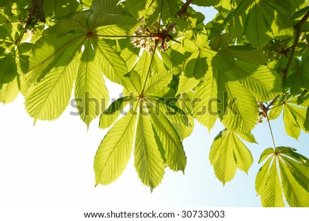 Green chestnut leaves with sunny blue sky. - stock photo