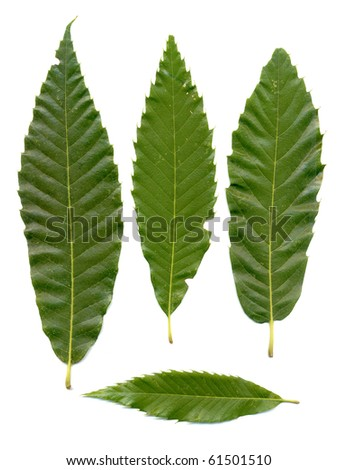 Green chestnuts leaves isolated on white background. - stock photo