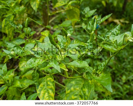 Green Chili Padi Plant (Bird's Eye Chilli,Thai pepper) - stock photo
