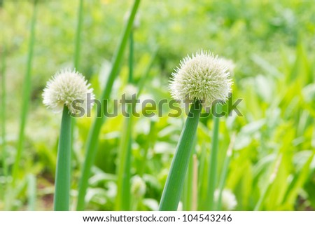 green Chinese onion blooming