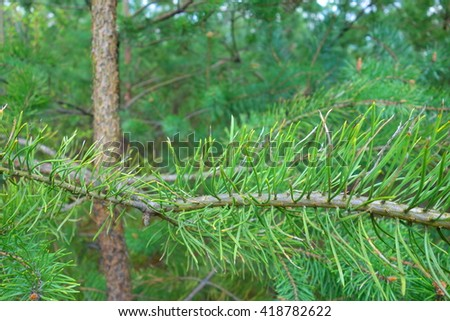 green christmas tree branches in forest  - stock photo