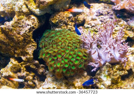Green Clove Polyp Palythoa in Aquarium