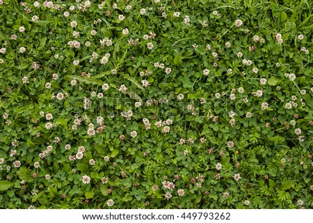 Green clover leaves and grass as background