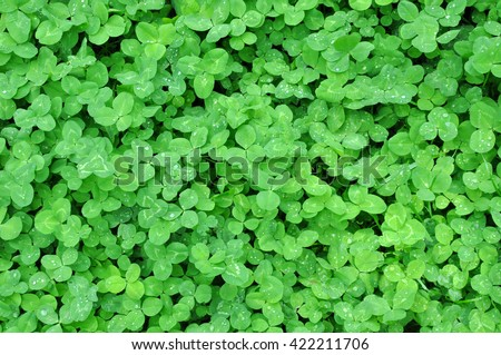 green clover leaves with dew background - stock photo