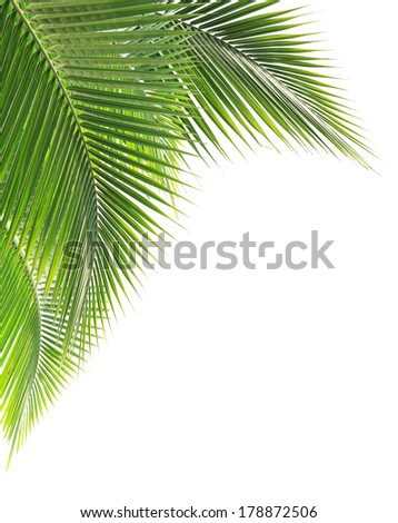 Green coconut leaf on white background - stock photo
