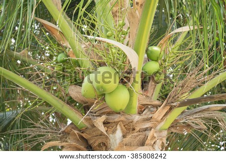 Green coconut tree with fresh ripe and young coconut and coconut leaf in sunny summer day/Fresh and green coconut tree - stock photo