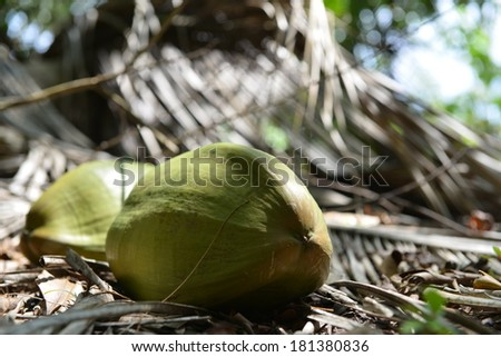 green coconuts on a background of dry leaves