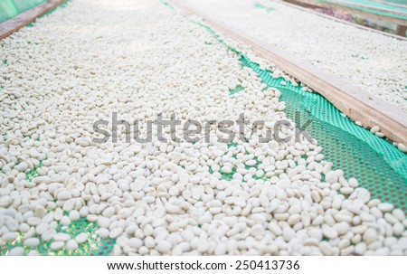 Green coffee beans dried in the sun, stock photo - stock photo