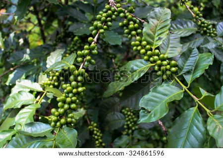 Green coffee beans, Green coffee beans growing on the branch - stock photo