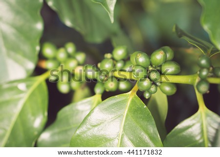 Green coffee beans, Green coffee beans growing on the branch.still life tone.Vintage tone.