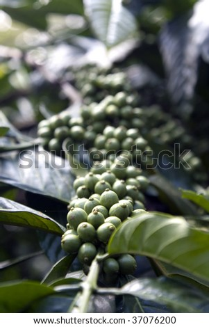 green coffee beans in a cultivation farm
