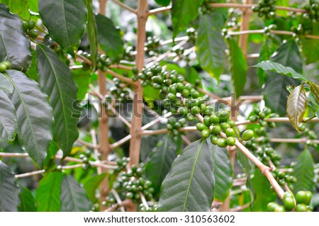 Green coffee beans in the highlands of Boquete, Chiriqui region of Panama - stock photo