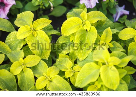 Green Coleus plant with yellow edges closeup on a flower bed, view from above (nature background) , ornamental trees . Home decor . - stock photo